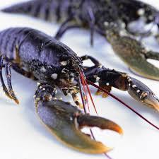 cuisiner un homard vivant homard tout savoir sur le homard idées cuisine au homard