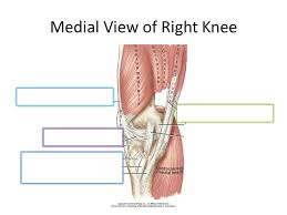 Right Knee Anatomy Biomechanics Of The Knee Ppt Video Online Download