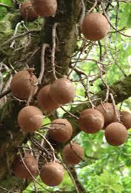 polynesian produce stand cannon tree couroupita guianensis