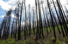 tedra begay near alpine trees burned from wallow arizona