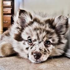 incrocio border collie x australian shepherd 20 crossbreed dogs that will make you fall in love with mutts