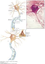 nerve tissue u0026 the nervous system junqueira u0027s basic histology