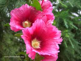 hollyhock flowers hollyhock flowers photos