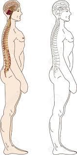 Human Vertebral Column Anatomy 1 879 Human Vertebra Stock Illustrations Cliparts And Royalty