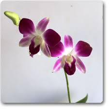 orchid plants buy dendrobium orchid plant online at nursery live best plants
