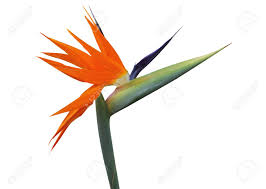 bird of paradise flower bird of paradise flower isolated on white background stock photo