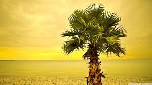 Palm Tree Wallpaper Beach Palm Tree 4k Hd Desktop Wallpaper For 4k Ultra Hd Tv