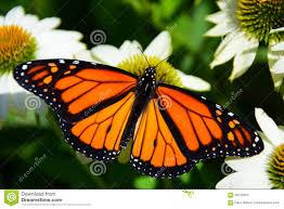 a monarch butterfly on flower clip art u2013 clipart free download