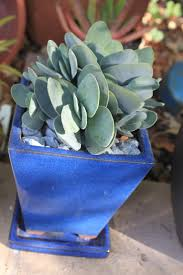 succulents meaning 214 best crassula images on pinterest plants succulents and cacti