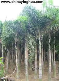 wodyetia bifureata foxtail palm palm tree ornamental plants china