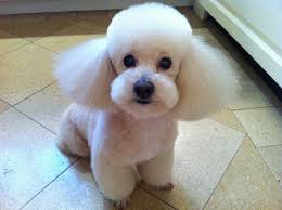 japanese grooming a1 pet grooming new york dogs pinterest