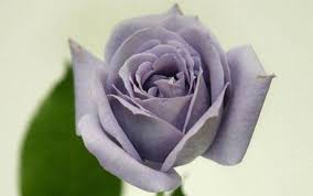 blue roses world s blue roses after 20 years of research telegraph