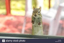 Haus Suchen Eine Niedliche Liebenswert Streifenhörnchen Mit Beiden