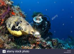 Great Barrier Reef Map Scuba Diver Observing A Map Puffer Or Scribbled Toadfish Arothron