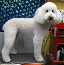 standard poodle hair styles 7 best caniche images on pinterest doggies pet grooming and