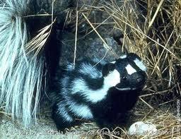 western spotted skunk montana field guide
