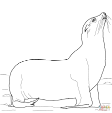 california sea lion on a beach coloring page free printable