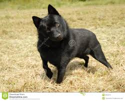 belgian shepherd dog miniature belgian shepherd dog stock photography image 2554642