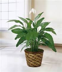 Peace Lily Plant A Peace Lily Plant Bethany Florist
