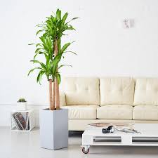 large indoor plants 5 u0027 6 u0027 potted in modern planters