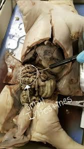 fetal pig disection anatomy u0026 physiology pinterest