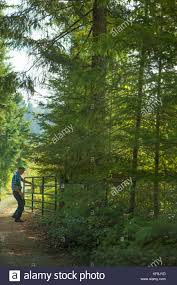 noble firs stock photos u0026 noble firs stock images alamy