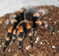 mexican redknee tarantula small size low humidity lives 30 years