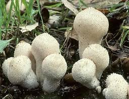 cuisiner vesse de loup les vesses champignons