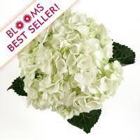 wholesale hydrangeas large white hydrangea wholesale by the stem