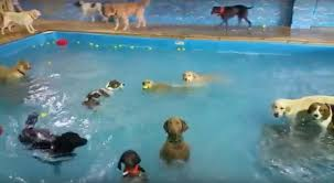 affenpinscher swimming the famous non swimming dog now has a non swimming friend