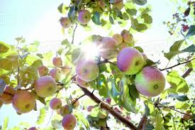 branch of apple tree with apples and sunlight stock photo dissolve