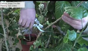 discover various pruning tips for house plants fruit plants
