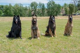 belgian sheepdog groenendael breeder the four belgians