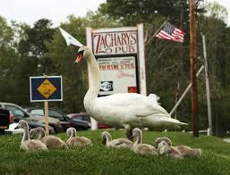 mashpee swans at great neck road washburn pond and zachary u0027s pub