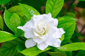 Flowes Learn How To Grow And Care For Your Gardenia