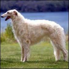 afghan hound and poodle regal dog breeds u2013 part 1 the afghan hound and borzoi dogs arena
