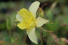 columbine plant columbine flowers facts and growing tips