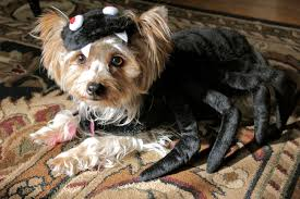 Spider Dog Halloween Costume 37 Yorkie Halloween Costume Ideas