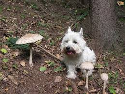 mushroom poisoning and toxicity in dogs pets4homes