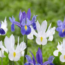 all about dutch iris