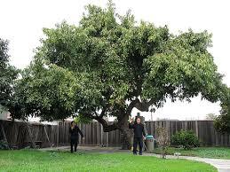 avocado trees a to z san diego