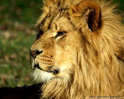 male lion wallpapers lion wallpaper the perfect project on h3 danieledance com