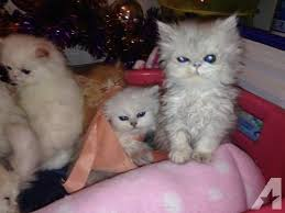 25 white kittens sale ideas baby cats