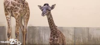 Weather Map Toledo Ohio by Giraffe Born At Toledo Zoo Won U0027t Go On Exhibit For A While Wbns