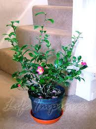 60cm hardy camellia pot christmas indoor garden evergreen