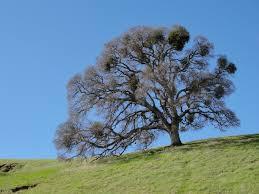 blue mountains native plants quercus lobata wikiwand