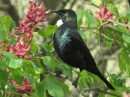 tuis birds of new zealand