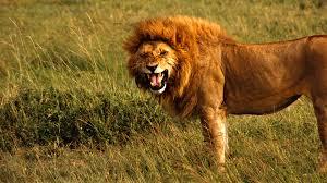 lions wallpapers reuun com