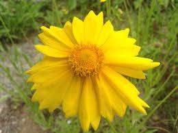 american beauty native plants june 2016 u2013 what u0027s blooming u2013 earth tones native plants