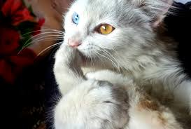 white blue and orange eyed cat free stock photo